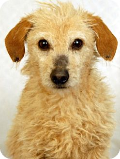 Poodle (Miniature)/Dachshund Mix Dog for adoption in Newland, North Carolina - Chuckles