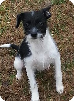Terrier (Unknown Type, Small) Mix Puppy for adoption in Washington, D.C. - Swizzle