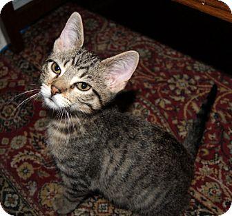 Domestic Mediumhair Cat for adoption in Parkville, Missouri - Leo