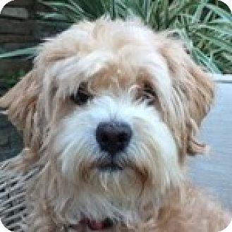 Bichon Frise Mix Dog for adoption in La Costa, California - Starr