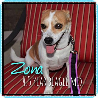 Beagle/Chihuahua Mix Dog for adoption in Phoenix, Arizona - Zona