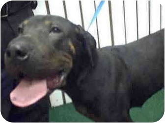 Doberman Pinscher/Shar Pei Mix Dog for adoption in Atlanta, Georgia - Chun Lee