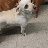 Adopt A Pet :: Ivy - Pflugerville, TX