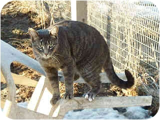 Domestic Shorthair Cat for adoption in Pickering, Ontario - Cleo