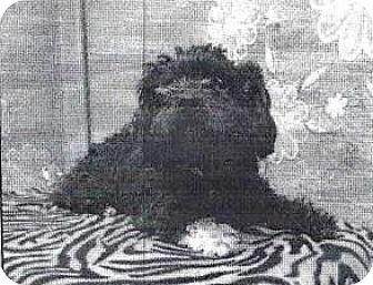 Terrier (Unknown Type, Small)/Poodle (Miniature) Mix Dog for adoption in Spokane, Washington - Martha