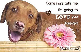 Labrador Retriever Mix Dog for adoption in Austin, Texas - Sampson