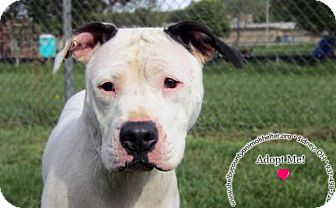 Pit Bull Terrier Mix Dog for adoption in Sidney, Ohio - Lucy