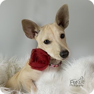 Chihuahua Mix Puppy for adoption in San Diego, California - Daisy