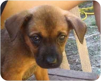 Labrador Retriever/Shepherd (Unknown Type) Mix Puppy for adoption in Upper Marlboro, Maryland - Galahad