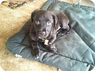 Schipperke/Norfolk Terrier Mix Puppy for adoption in Boerne, Texas - Cammie