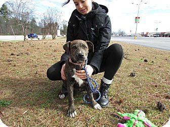 Labrador Retriever/Plott Hound Mix Dog for adoption in Seneca, South Carolina - Jasmine $250