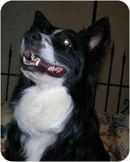 Border Collie Dog for adoption in Bellevue, Nebraska - Cara