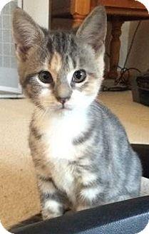 Calico Kitten for adoption in Fishkill, New York - Lady/Peppa