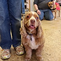 Cocker Spaniel Dog for adoption in Brookeville, Maryland - Larry (XPOST)