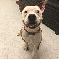 Pit Bull Terrier Mix Dog for adoption in Binghamton, New York - Talleah