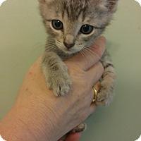 American Shorthair Kitten for adoption in Bryson City, North Carolina - Luke