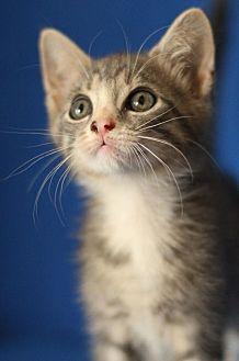 Domestic Shorthair Kitten for adoption in Winston-Salem, North Carolina - Speedy