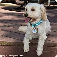 Adopt A Pet :: LUCA - Raleigh, NC