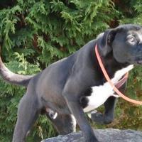 Labrador Retriever Mix Dog for adoption in Tiger, Georgia - Kaster