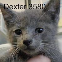Adopt A Pet :: Dexter - Manassas, VA