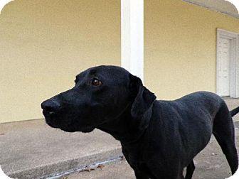 Labrador Retriever Dog for adoption in Denton, Texas - Winchester