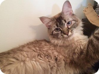 Siamese Cat for adoption in Los Angeles, California - Alexee