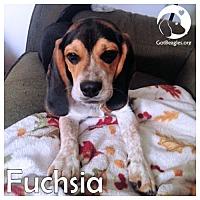 Adopt A Pet :: Fuchsia - Chicago, IL