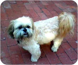 Lhasa Apso Dog for adoption in Los Angeles, California - CRACKER