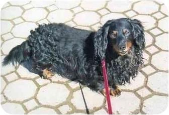 Dachshund Dog for adoption in Old Bridge, New Jersey - Deli