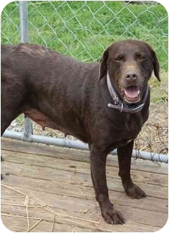 Labrador Retriever Dog for adoption in Waterloo, New York - Dixie