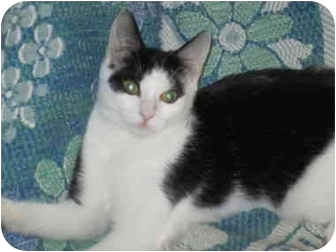 Domestic Shorthair Cat for adoption in Hazlet, New Jersey - Daisy