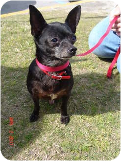 Chihuahua Dog for adoption in Jacksonville, North Carolina - Blackie