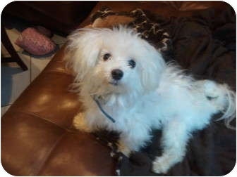 Maltese Dog for adoption in Pembroke pInes, Florida - Fluffy