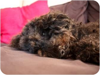 Poodle (Miniature) Dog for adoption in Long Beach, New York - Melvin
