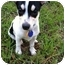 Photo 1 - Rat Terrier/Chihuahua Mix Puppy for adoption in Houston, Texas - Olivia in Houston