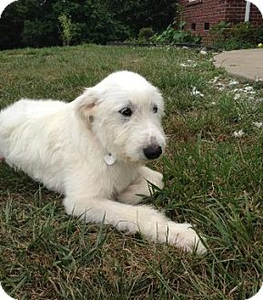Great Pyrenees/Giant Schnauzer Mix Dog for adoption in Spring Valley, New York - Delilah