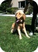 Golden Retriever Mix Dog for adoption in Foster, Rhode Island - Sunny