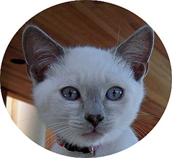 Siamese Kitten for adoption in Mandeville Canyon, California - Ashes