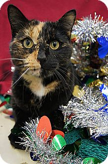 Domestic Shorthair Cat for adoption in Seymour, Connecticut - NOELLE