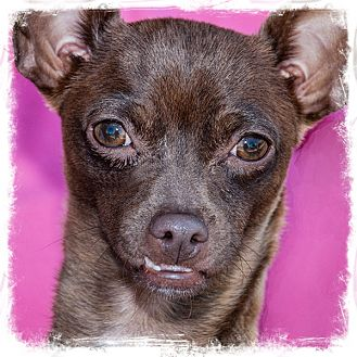 Chihuahua Dog for adoption in San Marcos, California - Bunny