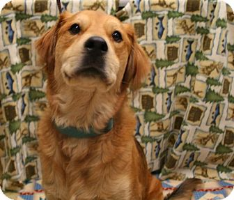 Shepherd (Unknown Type)/Golden Retriever Mix Dog for adoption in Kalamazoo, Michigan - Habachi