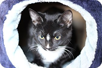 Domestic Shorthair Kitten for adoption in Flushing, Michigan - Jed Cooper