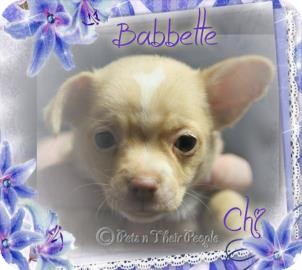 Chihuahua Mix Dog for adoption in Desert Hot Springs, California - Babbette