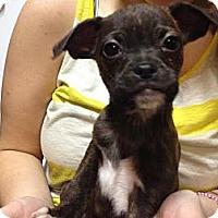 Adopt A Pet :: Zoe - South Jersey, NJ