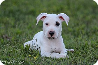American Bulldog/Pit Bull Terrier Mix Puppy for adoption in Warrenville, Illinois - Bauer