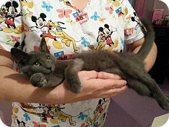 Russian Blue Kitten for adoption in New Martinsville, West Virginia - Penny