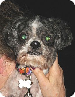 Lhasa Apso Mix Dog for adoption in Salem, Oregon - Bentley