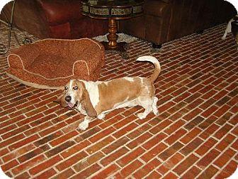 Basset Hound Dog for adoption in Grapevine, Texas - Baxter