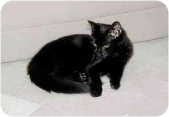 Domestic Mediumhair Cat for adoption in Laurel, Maryland - Bugsy