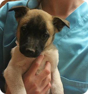 Labrador Retriever/Shepherd (Unknown Type) Mix Puppy for adoption in Conway, New Hampshire - Ingrid